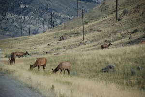 A family of elk by the highway